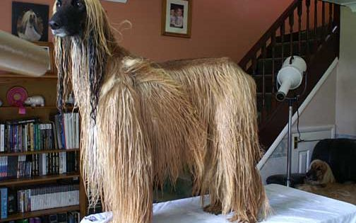 Grooming The Breed The Afghan Hound Association Afghan Hound