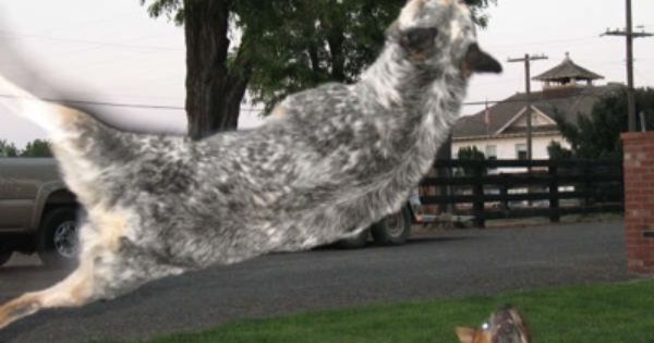 Blue Heeler Jumping 6 Feet 46 Australian Cattle Dog Dogs Sleeping Dogs