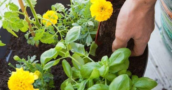 planter des tomates cerises en pot comment faire planters comment et pots. Black Bedroom Furniture Sets. Home Design Ideas