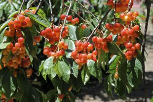 Rainier Cherry Trees White Cherries Fruit Trees For Sale Cherry Tree Rainier Cherries