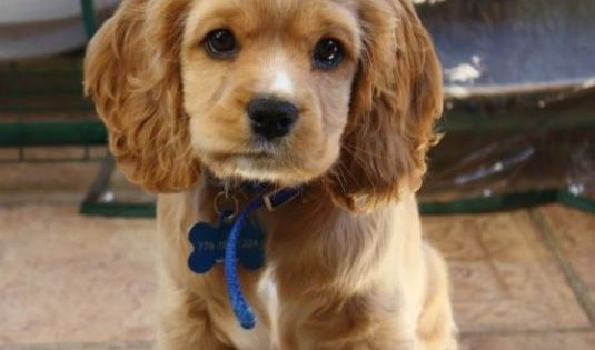 Cocker Spaniel + Cavalier mix...that would be the perfect dog breed
