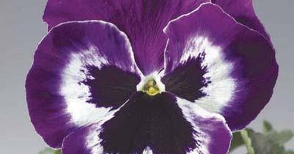 500 Bulk Delta Pansy Seeds Delta Violet And White Pansies Flowers Daffodil Flower
