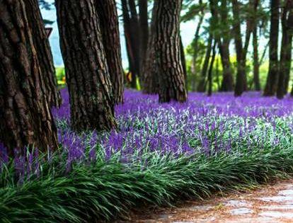 Liriope Szafirkowe Super Blue Liriope Muscari Albamar Ground Cover Plants Liriope Muscari Evergreen Landscape