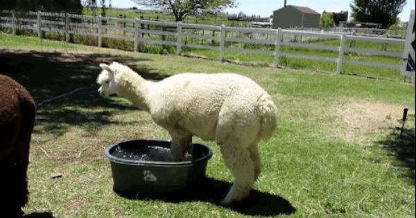 All Of Us Irl Epic Fail Pictures Cute Alpaca Funny Animal Videos