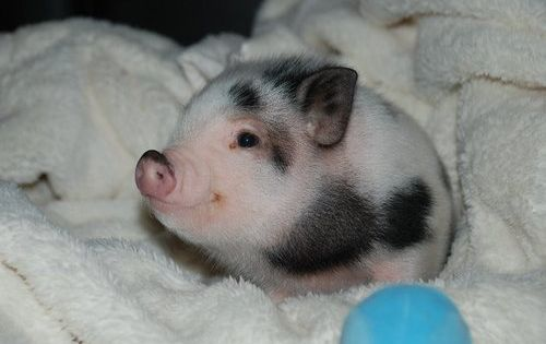 Baby Pig! Obsessed. I once had a pet pig!