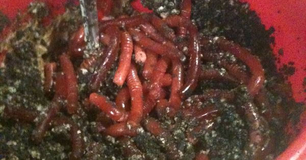 Dirt Cake Recipe Jello: Edible Earth Worms In Dirt Cake Made From Jello And Bendy