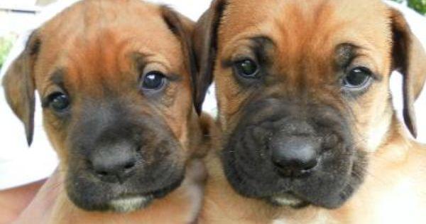 Rhodesian Ridgeback Boxer Mix Puppies Aktuelle Anzeigen Mischlingshunde Hunde Und Kinder Hunde