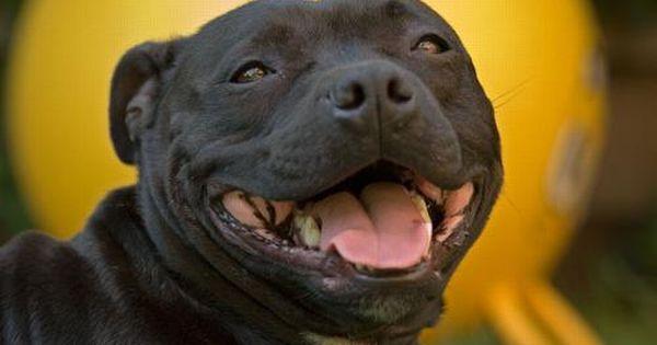 Pin By Jesse Couberly On Pitbulls Staffy Dog Beautiful Dogs