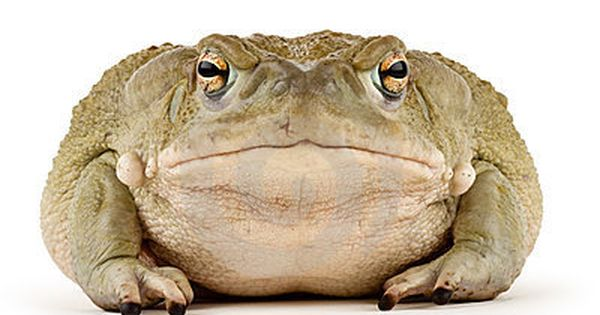 giant Sonoran Desert Toad ( - Google Search | Frogs n ...