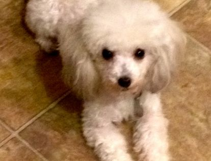 Adopt Judy Tiny Toy On Poodle Poodle Rescue Dogs