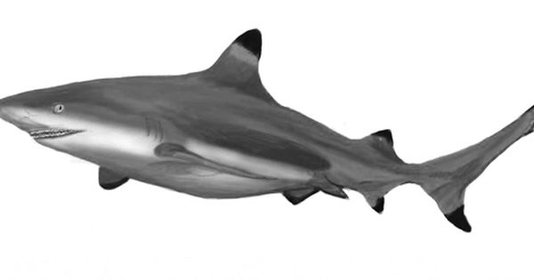 how to draw a realistic shark step by step
