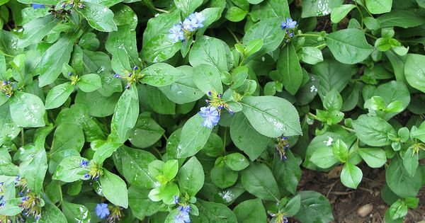 Perennial plumbago as groundcover low maintenance sun for Low maintenance full sun perennials