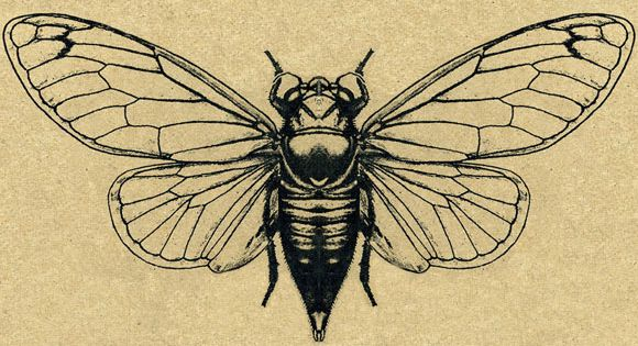 cicada these are the guys that play the music in the trees in summertime and one of the. Black Bedroom Furniture Sets. Home Design Ideas