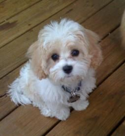 Cavachon Puppies Cavachons Sukey S Nonshedding Hypoallergenic