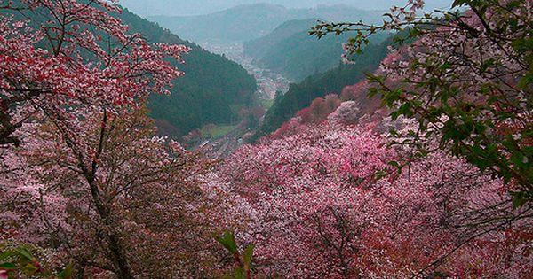 cherry blossoms in the sakura mountains. yoshino, Flower Fields| http://flowerfieldsgallerymarilou.blogspot.com