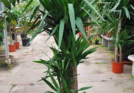 Yuccapalme Riesen Palmlilie 4er Yucca Elephantipes Palmlilie Bluhende Pflanzen Yucca Palme