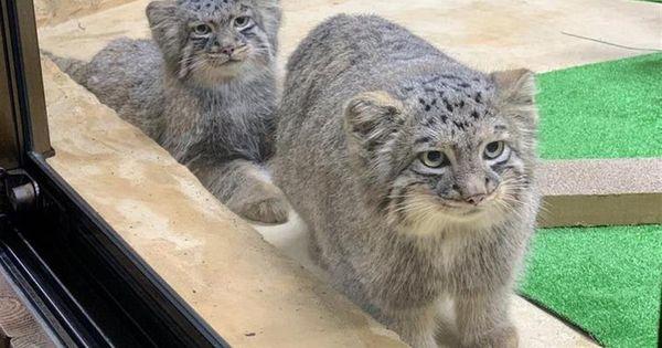 写真30枚 猫の日にもふもふの 世界最古の猫 大人気マヌルネコの魅力に迫る 産経ニュース マヌルネコ 猫 おもしろい猫