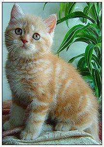 British Shorthair Cat Red Silver Classic Tabby Kissa