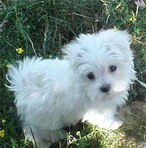 Sweet Maltese Babies Are Ready For New Homes Free Cute Puppies Maltese Puppy Cute Animals