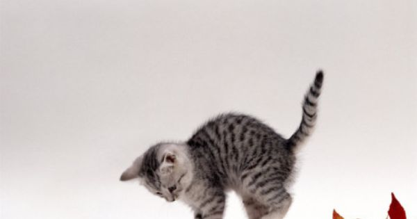 Domestic Cat 9 Week Silver Tabby Kitten Playing With Leaves Photographic Print Jane Burton Allposters Com In 2020 Silver Tabby Kitten Domestic Cat Cats