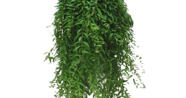 Plante retombante plantes tombantes modern plant for Plantes interieur tombantes