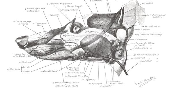 greyhound anatomy diagram - the head muscles