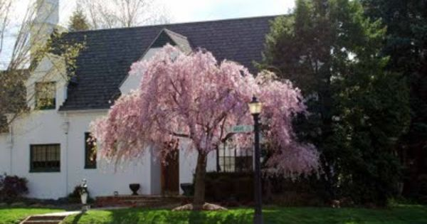 Pin By Rebecca Brewer On New Front Yard Trees For Front Yard House Landscape Front Yard