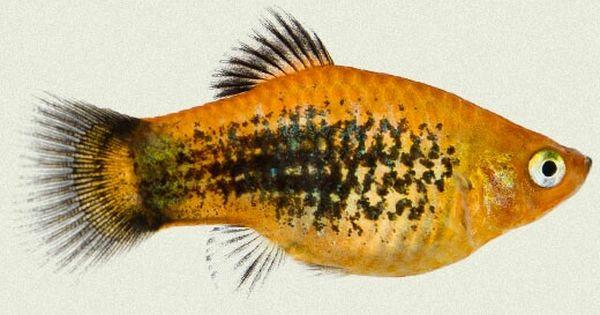 Pin By Aqualife On Platys Tropical Fish Aquarium Fish Aquarium Fish