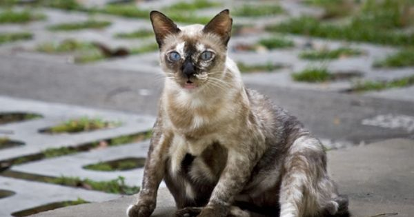Siamese Mix Breed Cat Cats Mixed Breed Animals