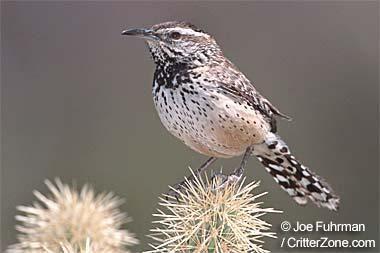 Arizona State Bird Cactus Wren Cactus Wren State Birds Arizona Cactus