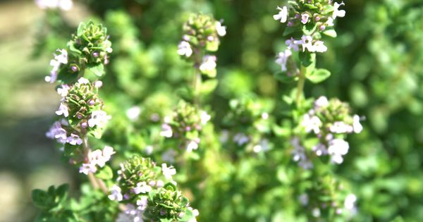 Thyme is a Herb that Cures all Diseases | Herbs, Mud and Cream