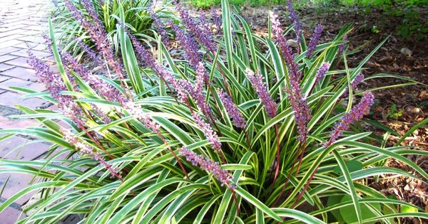 Low maintenance landscaping ideas for zone 5 views from for Short growing ornamental grasses
