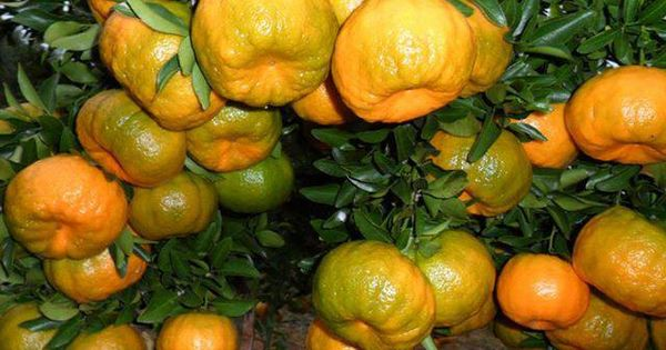 what are citrus fruits garcinia cambogia fruit