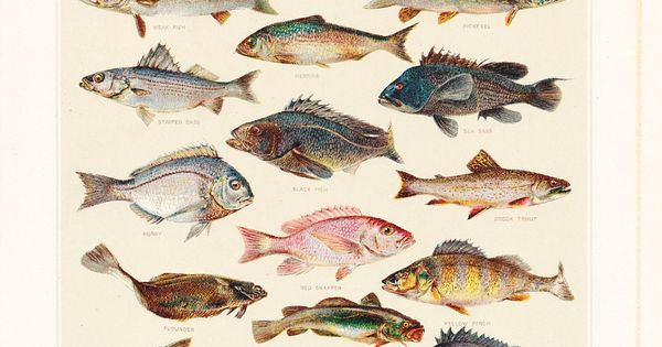 Edible fish 1903 under the sea pinterest american food for Types of edible fish