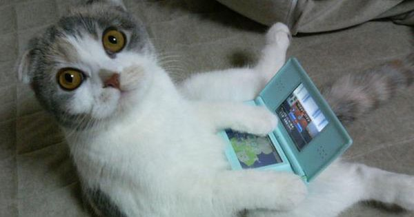 .........One more game..? Nintendo DS funny Scottish fold cat