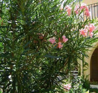Le laurier rose est un arbuste d une grande beaut dont il existe de nombreuses vari t s - Ou planter un laurier rose ...
