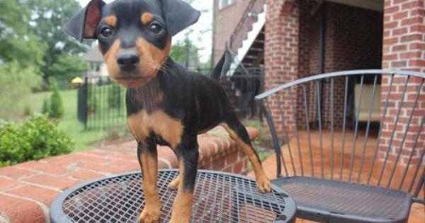 Adopt Jojo On Miniature Pinscher Dogs Pet Adoption