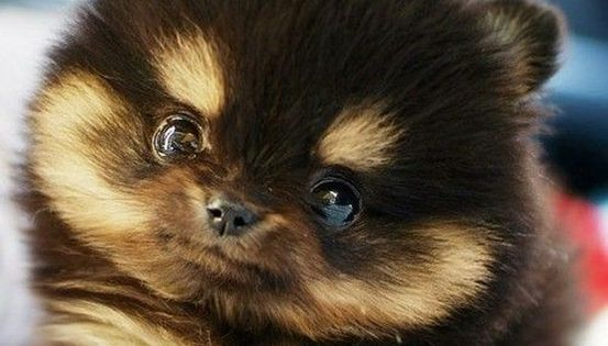 Teacup Pomeranian ... So Cute!