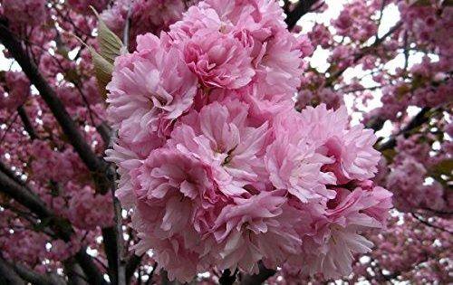 20pcs Japanese Sakura Flowering Cherry Flower Seeds Prunus Serrulata Tree Seeds Flowering Cherry Tree