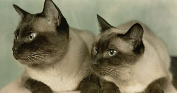 Vintage Siamese Beasties Like Dc In That Darn Cat Cat Love Cats Siamese Cats