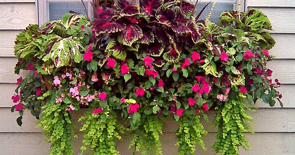 Window Box With Creeping Jenny Impatiens And Coleus