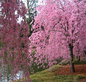 How To Grow The Dwarf Weeping Cherry Tree Wisteria Tree Weeping Cherry Tree Green Giant Arborvitae