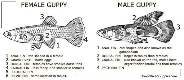 Male Or Female Guppy Aquarium Advice Aquarium Forum Community Guppy Fish Guppy Betta Fish