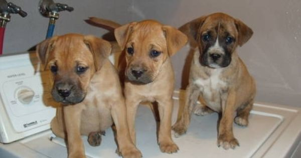 Boxer Lab Mix Boxador Labrador Retriever Boxer Mix Puppies 200