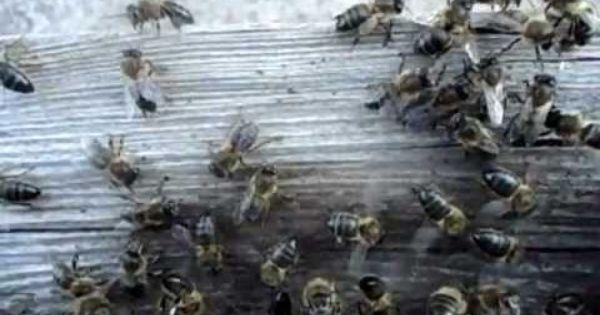 الغربية عسل النحل النحل ملكة النحل صورة بابوا نيو غينيا Bee Animals Insects
