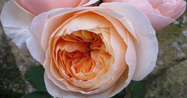 Peach Juliet roses