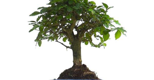 Acheter un Bonsai dintérieur Ligustrum Chinensis 30 cm chez un vrai ...
