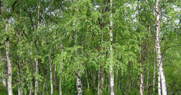 betula verrucosa syn pendula bouleau blanc plante 40 60 cm en racine nue betula pendula. Black Bedroom Furniture Sets. Home Design Ideas