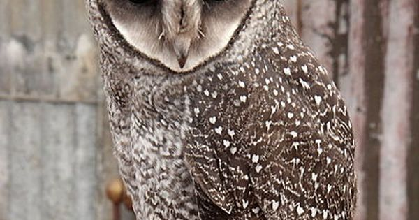 Taliabu Masked Owl Tyto nigrobrunnea - Google Search ... - photo#19
