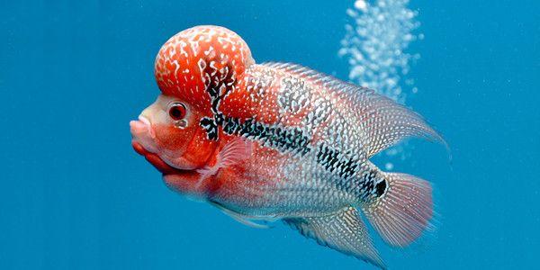 10 Most Colorful Freshwater Fish The Aquarium Guide Piaraan Ikan Hewan